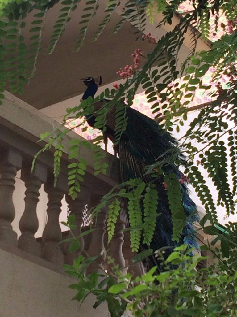 A peacock on a balcony