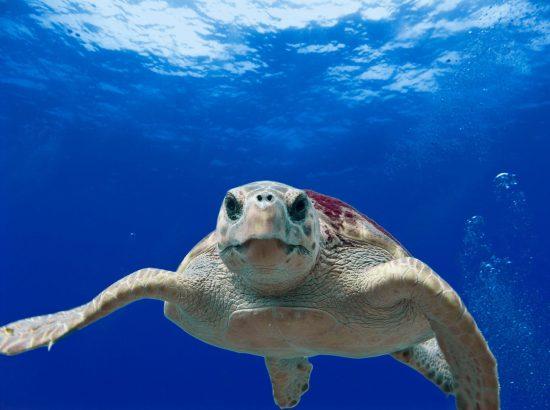 turtle underwater looking at camera