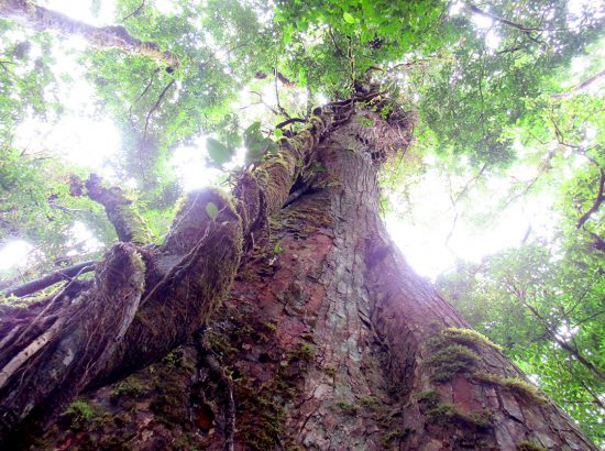 Looking up from the ground at very tall, wide tree trunk with green leaves against the sky