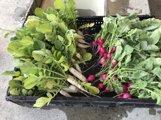 The fresh-looking daikon and radish are the first harvest of the year. They were supplied to the ACRS Food Bank in the International District in Seattle to provide fresh produce for the homeless.