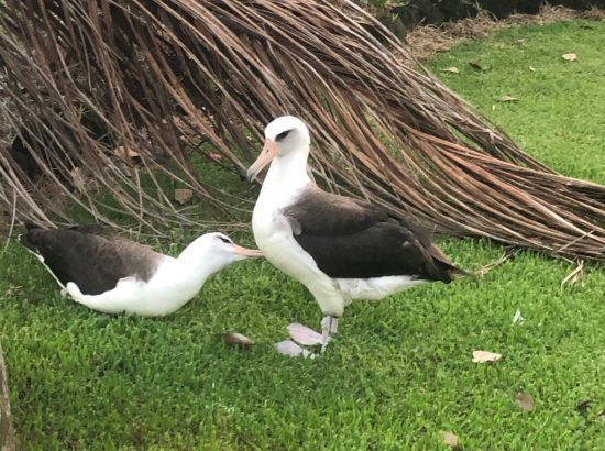 two adult albatrosses