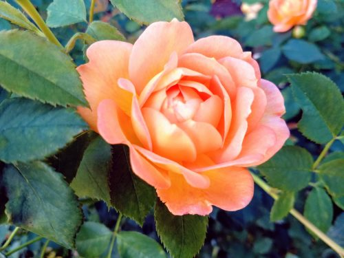 Rose from International Rose Test Garden