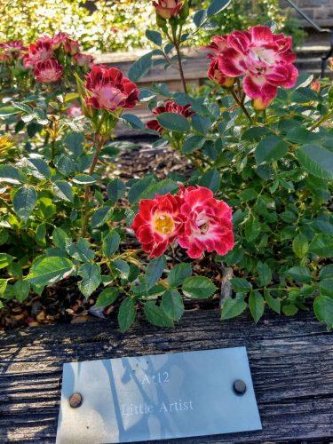 """Little Artist"" rose from International Rose Garden"
